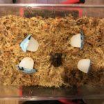 マルガリータヒナカブト産卵セット