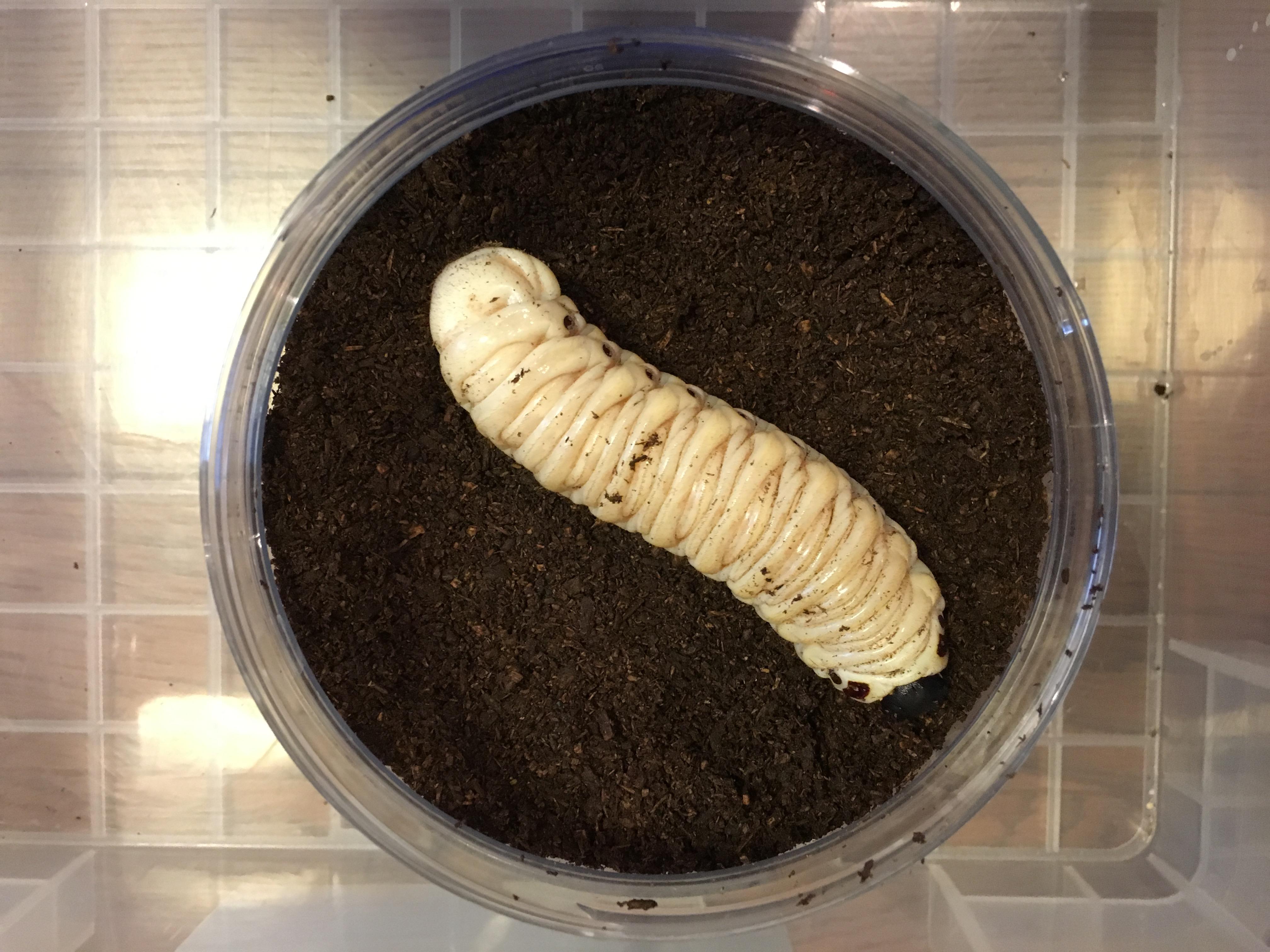 ゴライアスオオツノハナムグリの幼虫をお出迎え