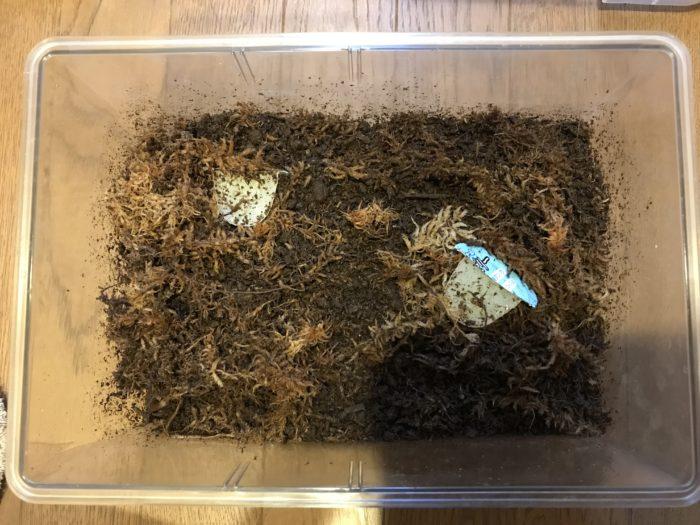 マルガリータヒナカブト産卵セット割出し
