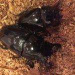 タランドゥスオオツヤクワガタ幼虫潰し・卵腐る