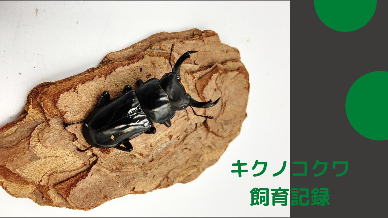 キクノコクワの飼育記録 ペアリングと産卵セット