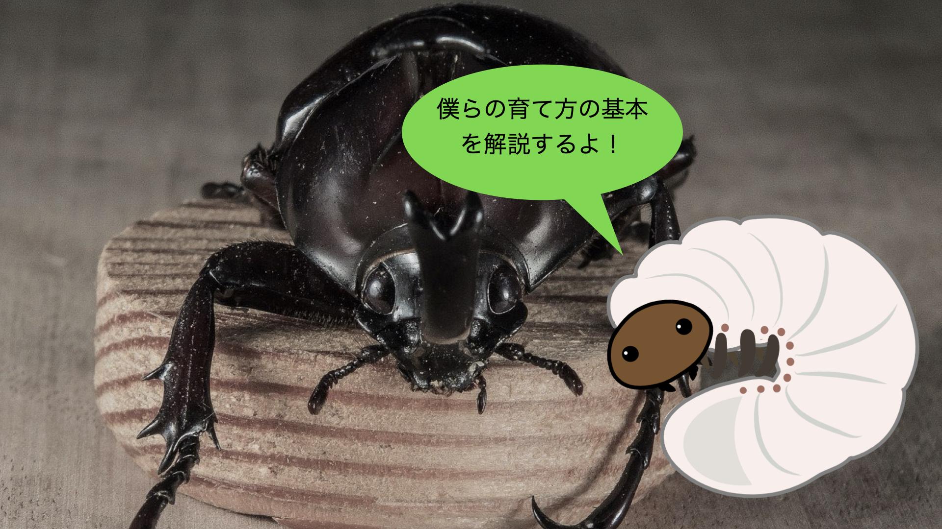【初心者向け】カブトムシ幼虫飼育の基本